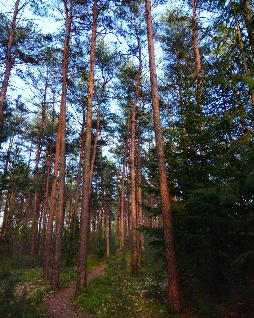 Vysoké stromy v ihličnatom lese počas behu